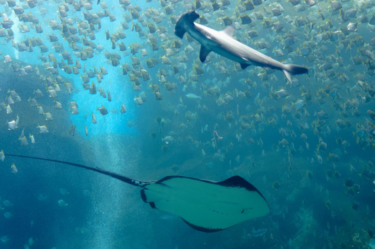 Hiu dan Pari, Biota Laut Bernilai Penting Bagi Lingkungan Kini Terancam Punah