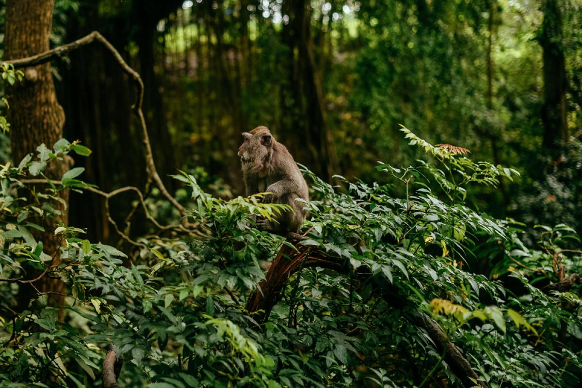 Totalitas Masyarakat Padangtegal, Jaga Hutan Monyet dari Sampah