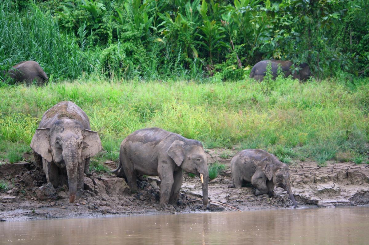Menyelisik Asal Usul Gajah Kerdil yang Disebut Berasal dari Jawa