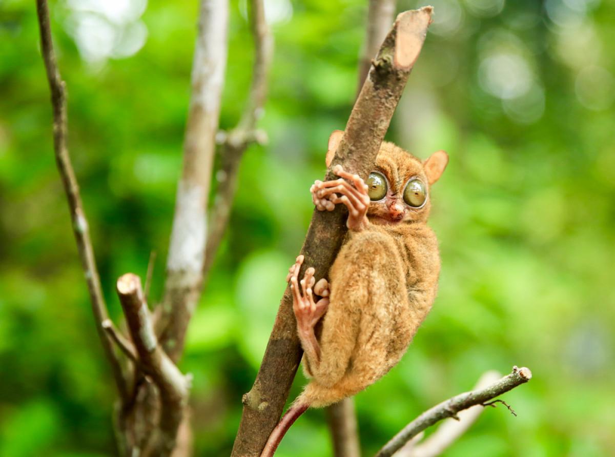 Mentilin, Primata Imut Bermata Bulat yang Jadi Maskot Bangka Belitung