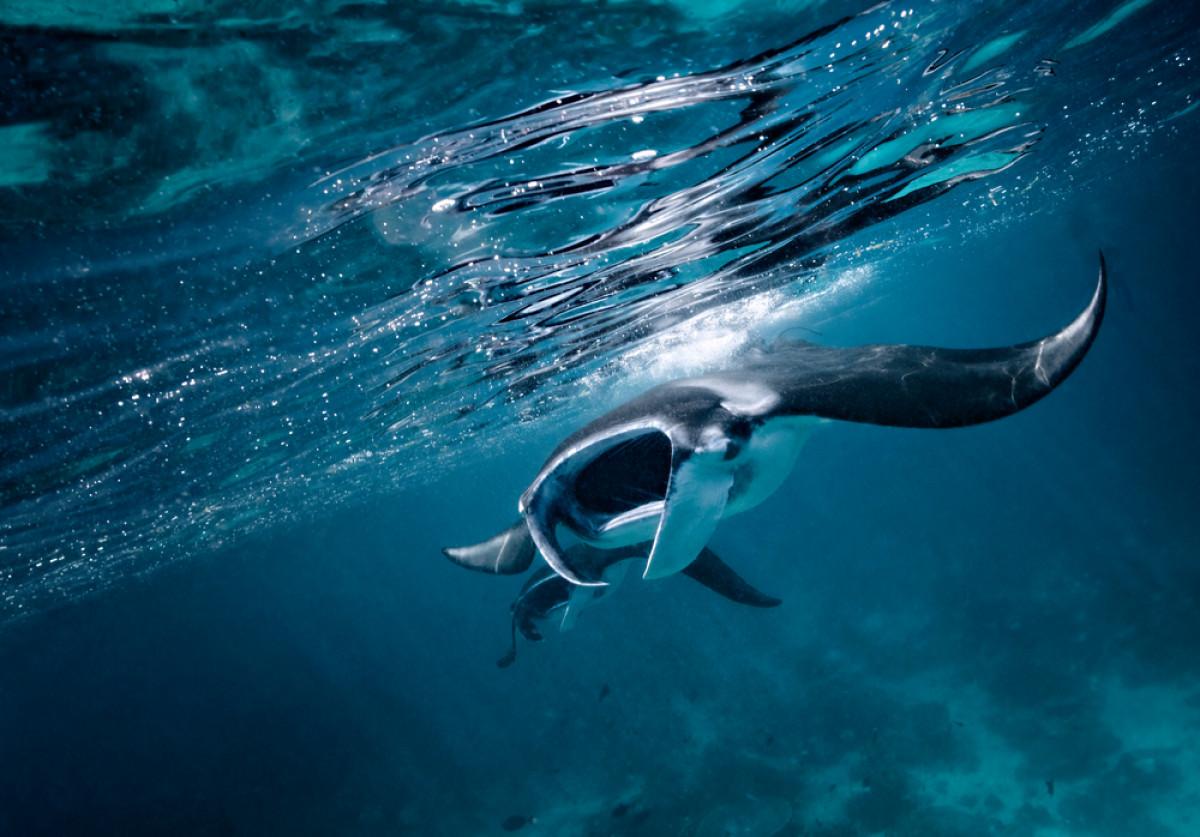 Berenang Bersama Pari Manta dan Melepas Penyu di Pulau Sangalaki
