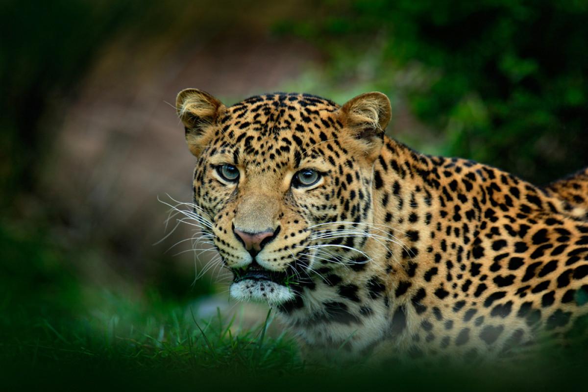 Kisah Macan Tutul Jawa, Dahulu Dihormati Sekarang Diburu