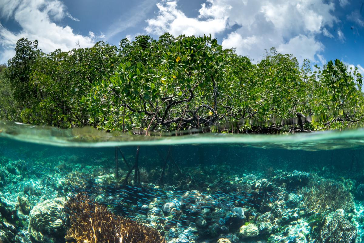 Upaya Pelestarian Lingkungan Pesisir Pantai Lewat Sekolah Mangrove di Pulau Tawabi