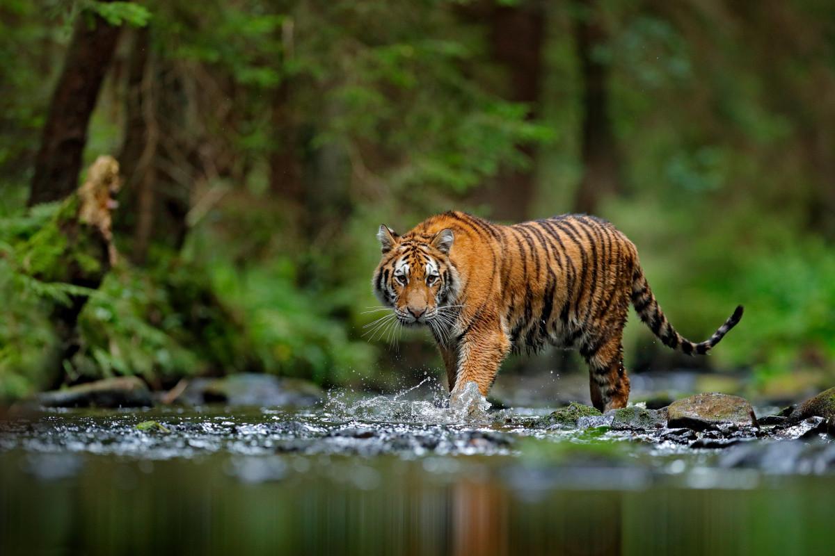 Mengenang Samong, Harimau Bali yang Telah Punah