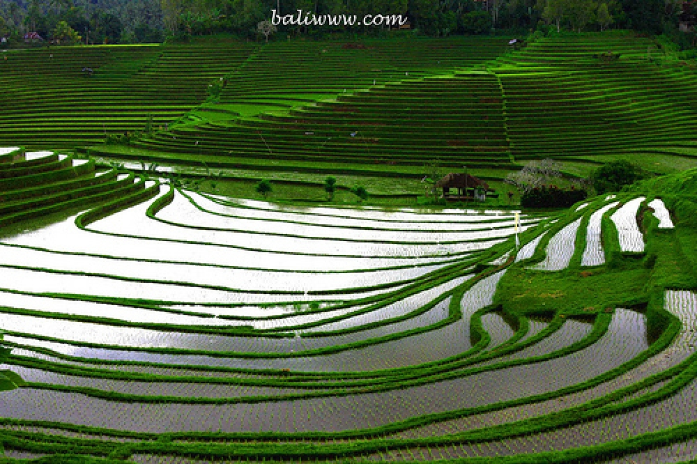 SUBAK – the unique Balinese Rice Farming Culture - designated UNESCO World Heritage