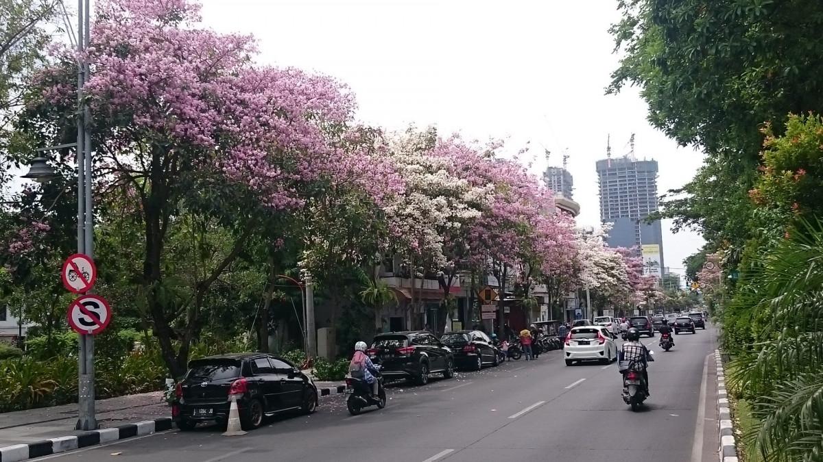 Pohon Tabebuya, Si Penyerap Polusi Udara di Jalanan Kota