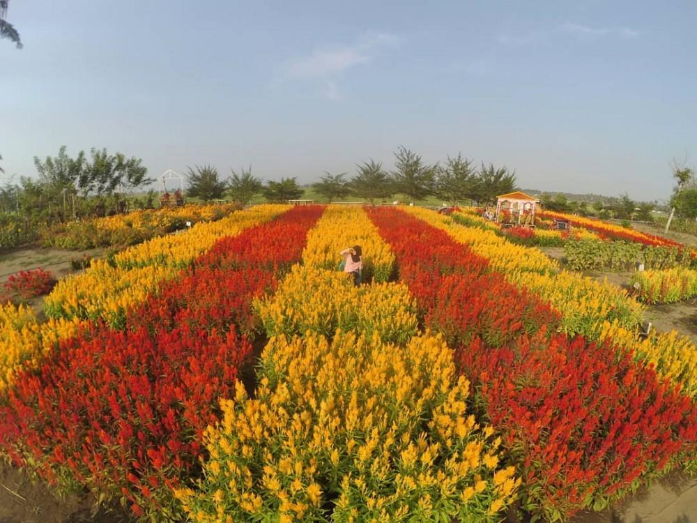 Di Belanda Ada Tulip, di Klaten Ada Ini