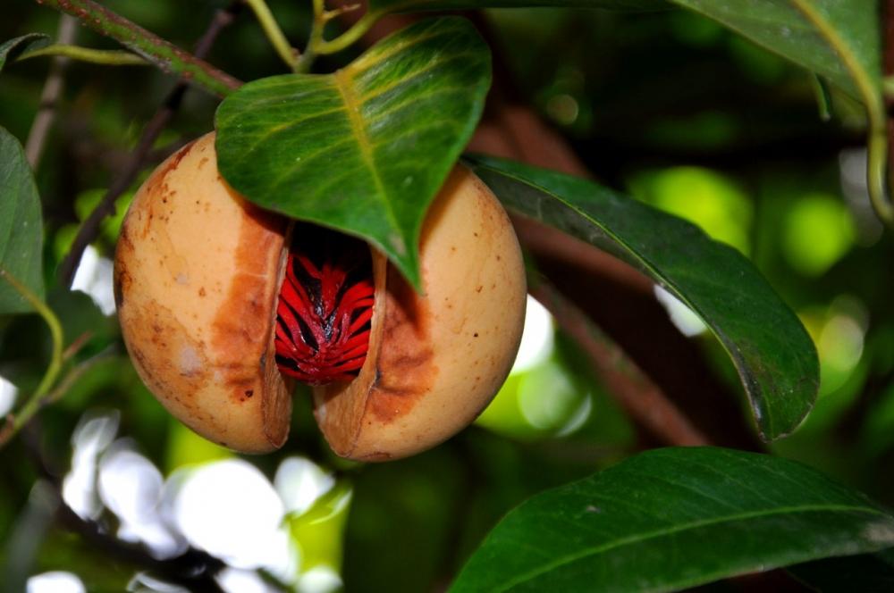 5 Tanaman Berharga di Indonesia Yang Telah Terkenal Sejak Zaman Pertengahan