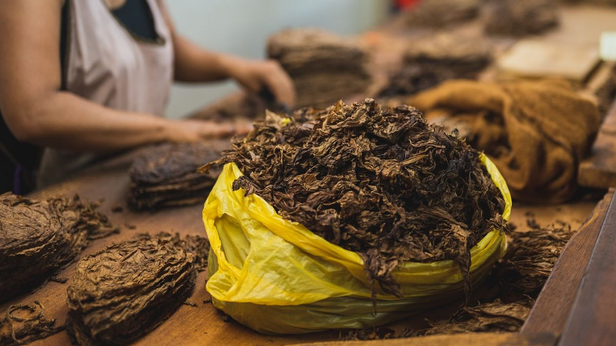 Awal Mula Kehadiran Tembakau, Si 'Emas Hijau' Indonesia