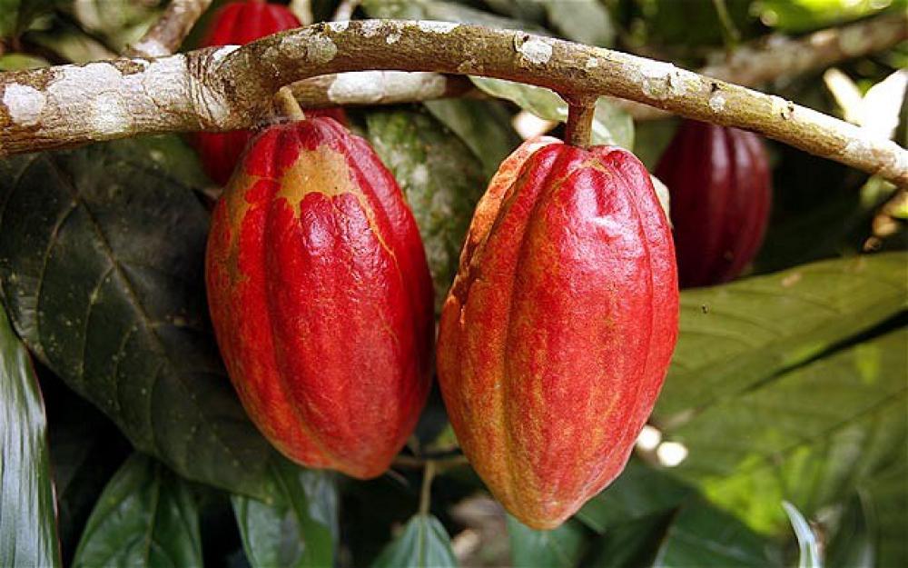 Tiga Tahun Terakhir, Indonesia Raja Kakao