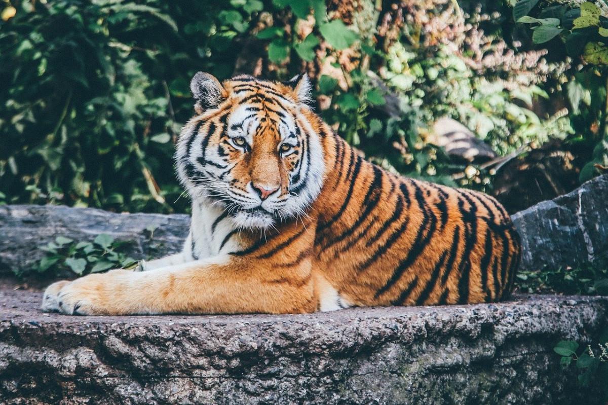 Hari Harimau Sedunia: Mengenang Kembali Spesies Jawa dan Bali yang Telah Punah