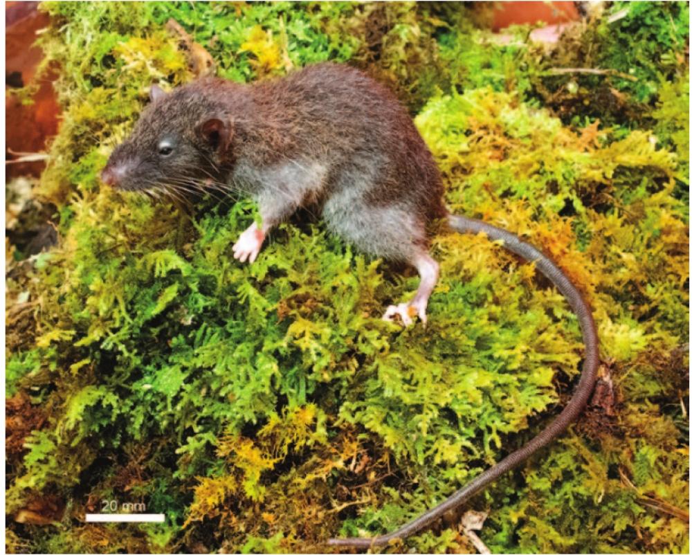 Penemuan Tikus Paling Ramping di Dunia dari Sulawesi