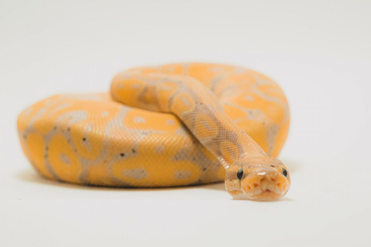 Merawat Ular-Ular Eksotis oleh Komunitas Pencinta Reptil
