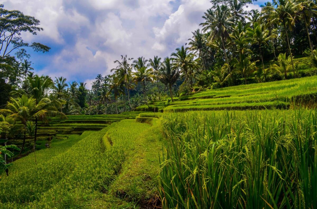 Selamat! Indonesia Menjadi Salah Satu Negara Penghasil Padi Terbesar di Dunia