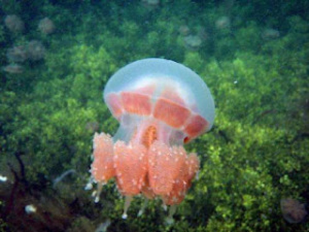 Ubur-ubur unik hanya ada di 2 tempat di dunia, salah satunya ada di Indonesia
