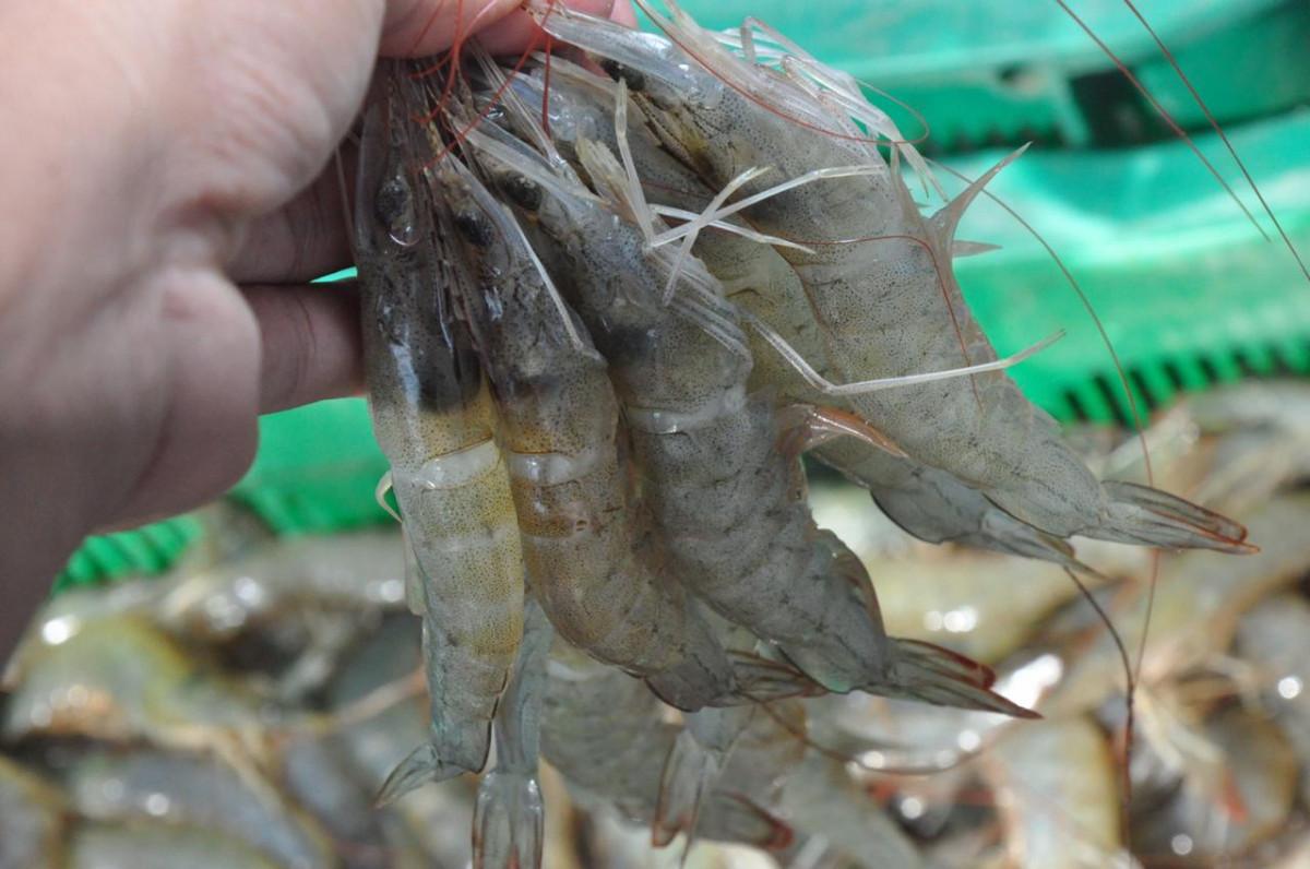Mengenal Milenial Shrimp Farming, Program Budidaya Udang Beromzet Menggiurkan