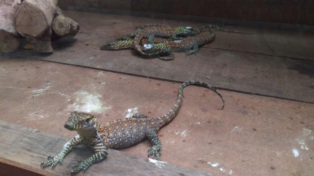 Hore! Puluhan Telur Komodo Menetas di Kebun Binatang Surabaya