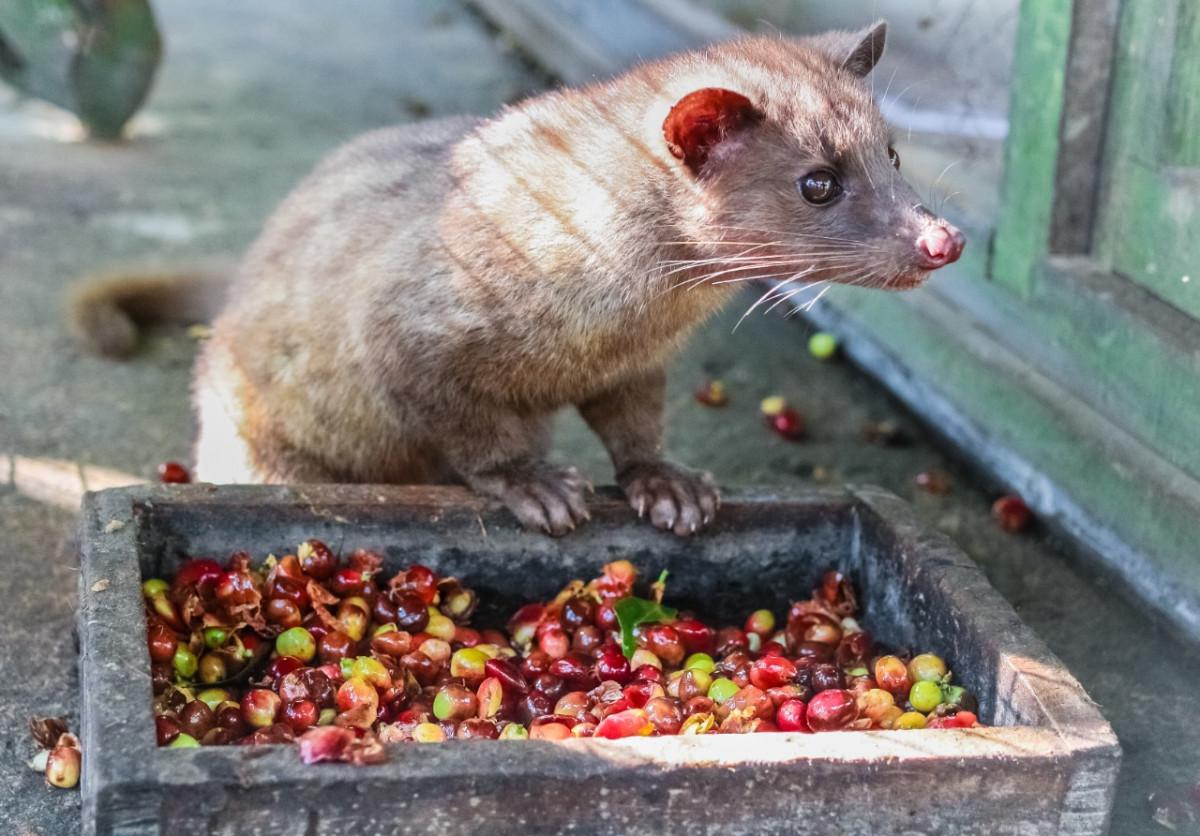 Mengenal Kopi Luwak, Salah Satu Kopi Termahal di Dunia