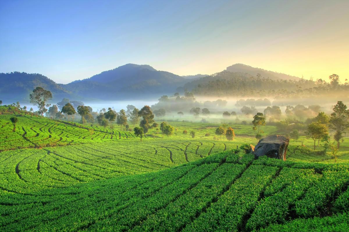 Mantap! Indonesia Jadi Salah Satu Produsen Teh Terbesar di Dunia