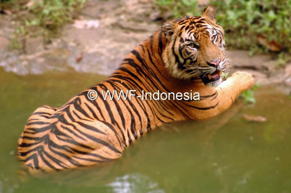 Tertangkap Kamera, Keluarga Harimau Sumatera Berhasil Berkembang Biak di Alam Liar
