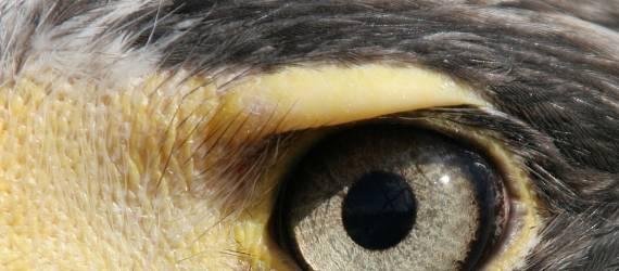 Inilah Spesies Burung yang Menjadi Inspirasi dari Lambang Negara Indonesia
