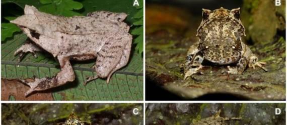 Spesies Baru! Katak Tanduk Tak Bertulang Ditemukan di Sumatera Selatan