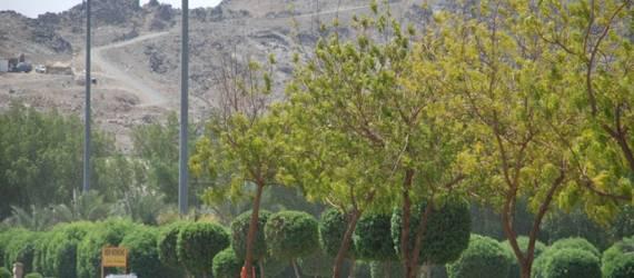 Mengenal Lebih dalam Pohon Soekarno di Mekah