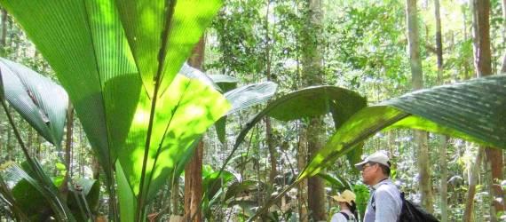 Berdaun Raksasa! Tanaman unik Ini Ditemukan di Sumatera Utara