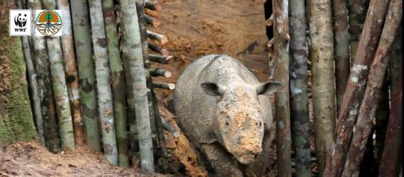 Badak Sumatera di Kalimantan Timur Masih Bisa Diselamatkan