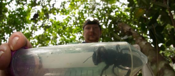 Lebah Paling Besar di Dunia Ini Kembali Ditemukan Setelah disangka punah!