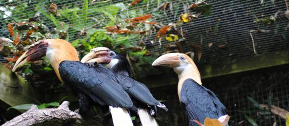 Indonesia, Surga Si Burung Rangkong