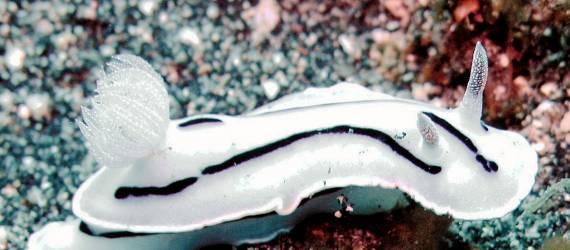 Begini Lucunya si Kelinci Laut di Perairan Indonesia