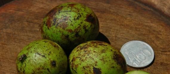 Pohon Maskot Jawa Barat,  Menjadi Nama Daerah di Jakarta