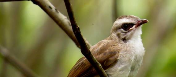 Merbah Cerucuk, Si Burung Komunal yang Jinak