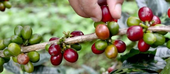 Wanita Poso Mempromosikan Perdamaian Melalui Makanan dan Kopi