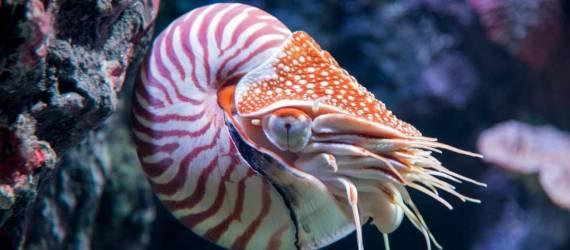 Nautilus, Chepalopoda Purba Yang Tersisa