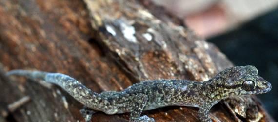 Cicak Jari Lengkung Tambora, Spesies Baru yang Meyakinkan Indonesia Juara Ragam Hayati