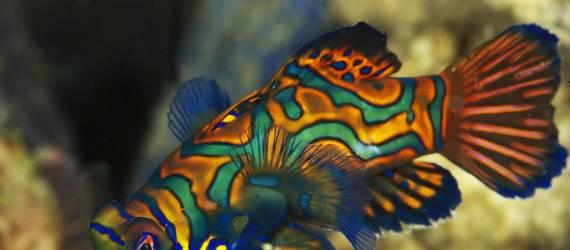 Pictured Dragonet, Ikan Eksotis Yang Makin Langka