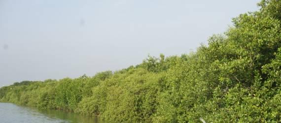 Mangrove Pasir Sakti yang Kini Hijau Lagi