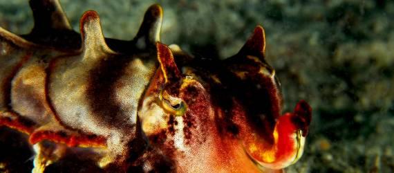 Indahnya Flamboyan Cuttlefish, Si Sotong Warna Warni