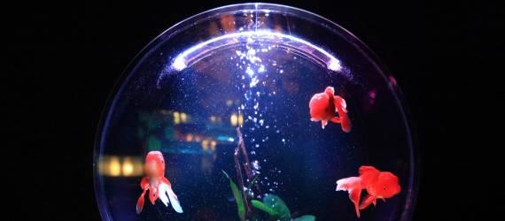 Menjadi Negara Eksportir Ikan Hias Terbesar di Dunia? Bisakah?