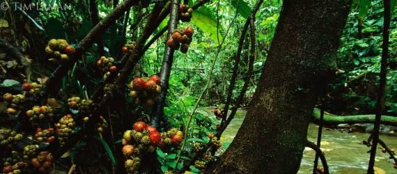 Inilah Tumbuhan Maskot Propinsi Sulawesi Utara