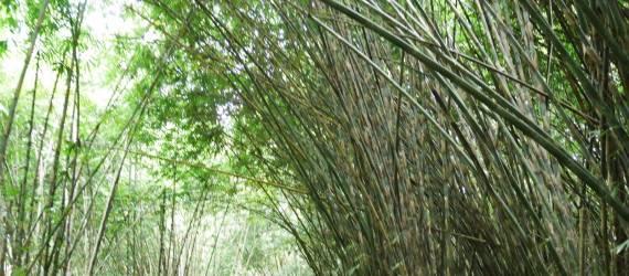 Suasana Hutan Bambu Arashiyama di Bali
