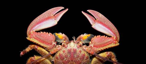 Foto: Kepiting Porselen Si Rapuh Yang Mematikan