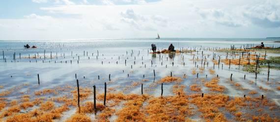Presiden Zanzibar Tertarik Bisnis Rumput Laut RI