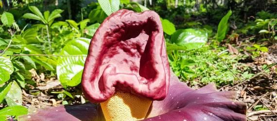 Peneliti Dari Universitas Bengkulu Membudidayakan 2 Spesies Bunga Bangkai