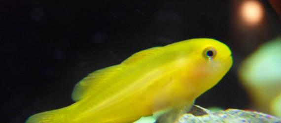Tidak Hanya Nemo, Ikan Mungil Ini Juga Lucu