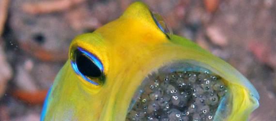 Meskipun Menyeramkan Satwa Laut Ini Ternyata Sangat Melindungi Sarangnya