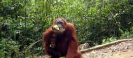365Indonesia Day 17 - Orangutan in Bukit Lawang, North Sumatra