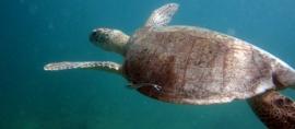 365Indonesia Day 25 - Sea Turtle in Derawan Island, East Kalimantan